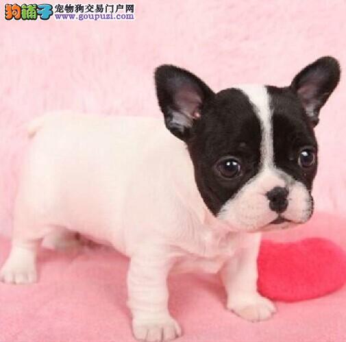 权威机构认证犬舍 专业培育法国斗牛犬幼犬保证品质完美售后
