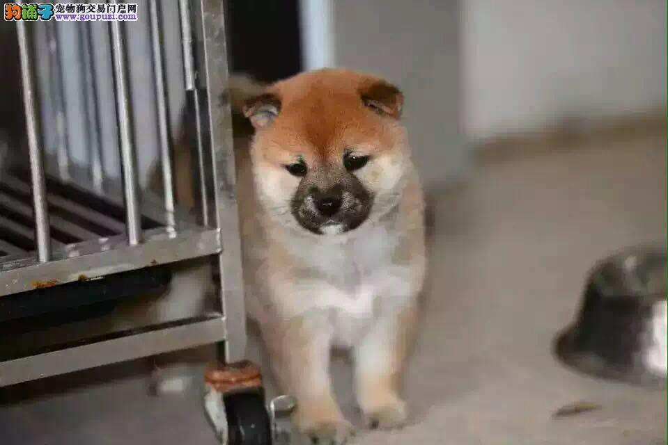 赛级日系柴犬、纯种柴犬、终身保健康
