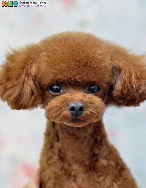 女神必备爱犬,精品小体泰迪幼犬,包活