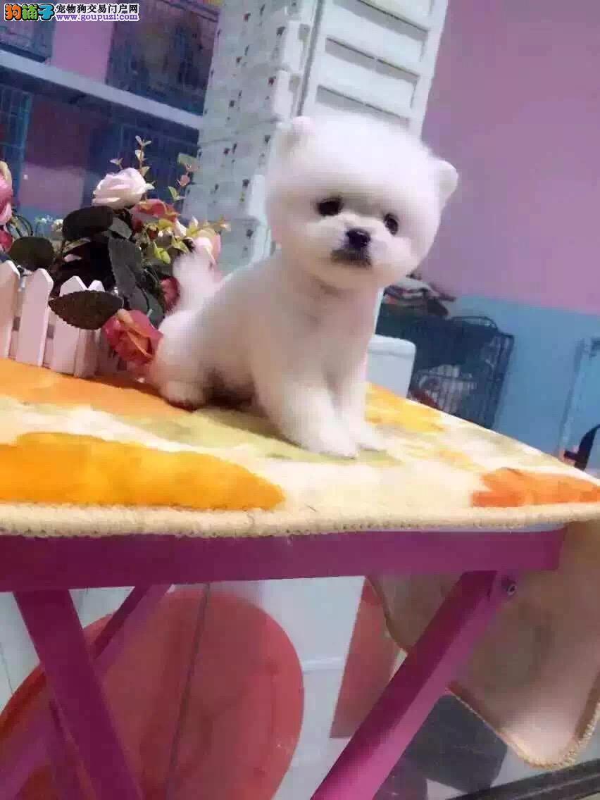 哈多利超小体博美 超萌哈多利俊介犬