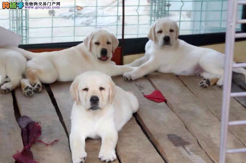 高品质纯种拉布拉多犬 保障健康