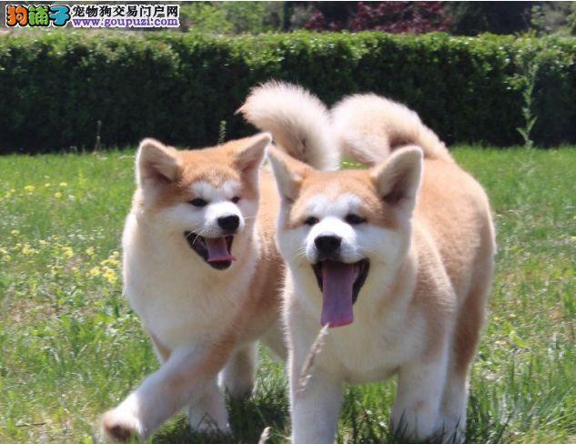 曾经有这么一条狗感动全世界,,精品秋田犬
