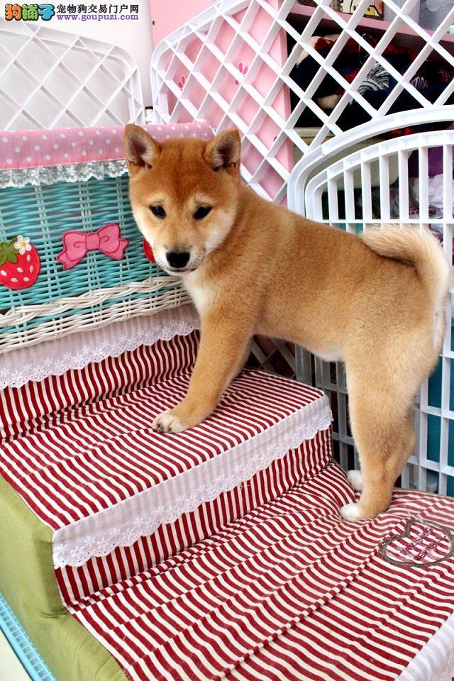 纯种日本柴犬 赛级柴犬宠物狗 家养繁殖 绝对健康
