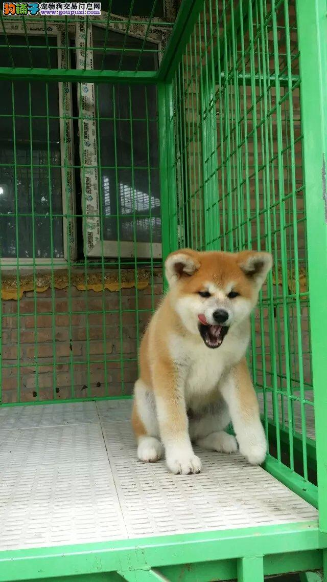 高品质纯血统日本秋田犬 出售赛级品质纯血秋田犬