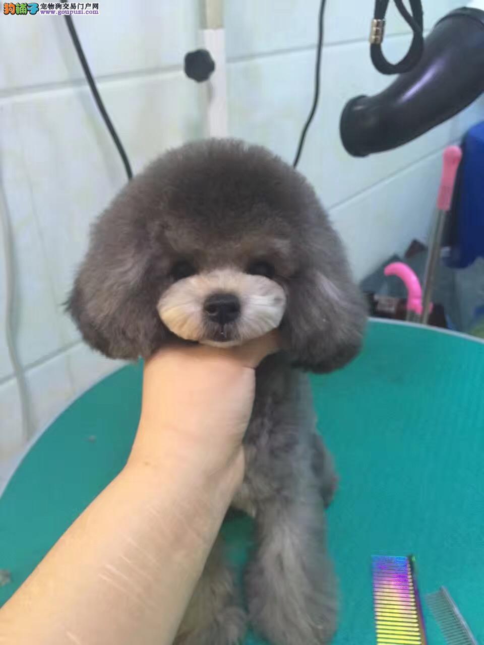 韩国引进,茶杯泰迪熊犬,玩具泰迪熊犬
