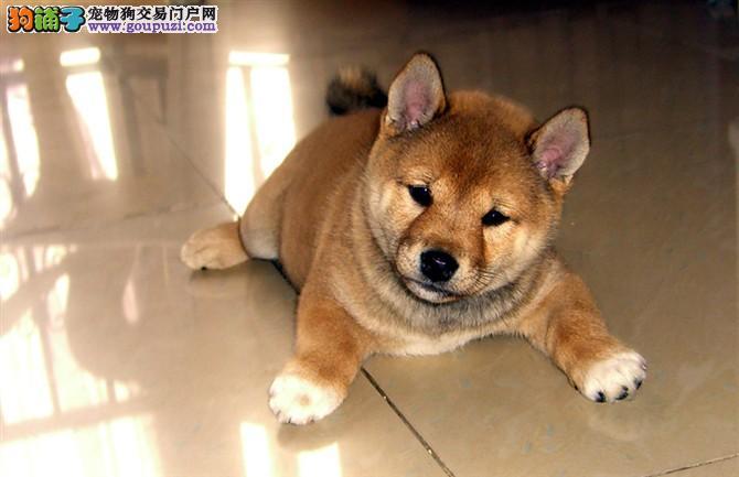 柴犬日系纯种赛级血统,正规狗场专业繁殖纯种幼犬