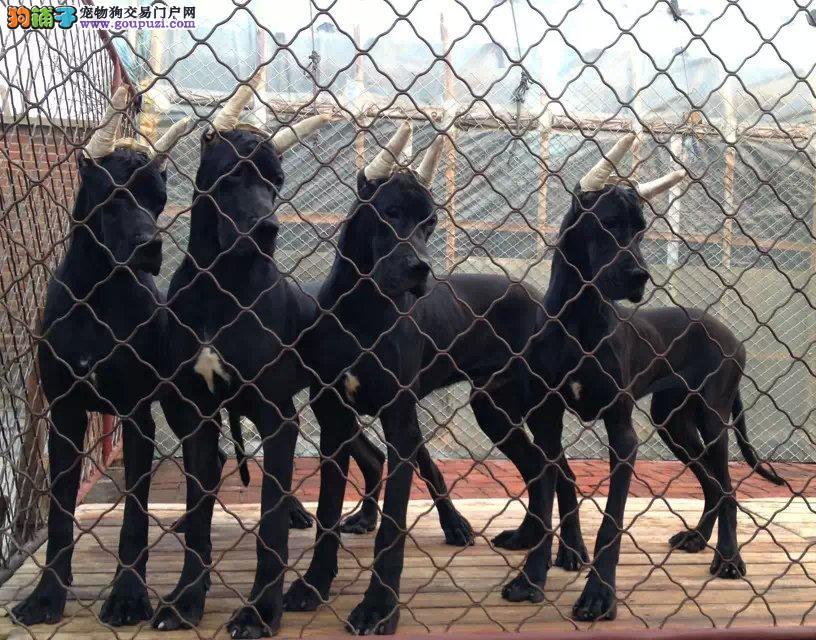 纯种大丹犬宝宝杭州地区找主人签订协议包细小犬瘟热