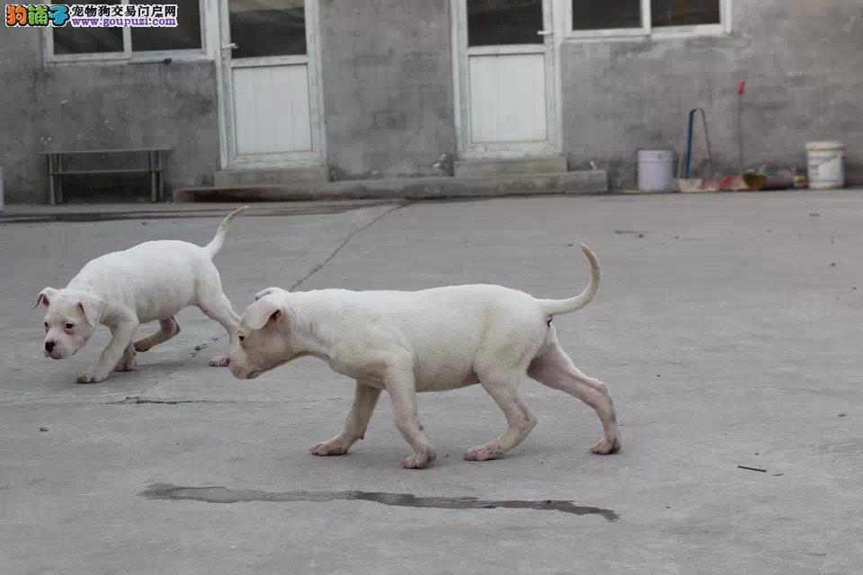 抓野猪杜高犬 纯种杜高犬公母都有