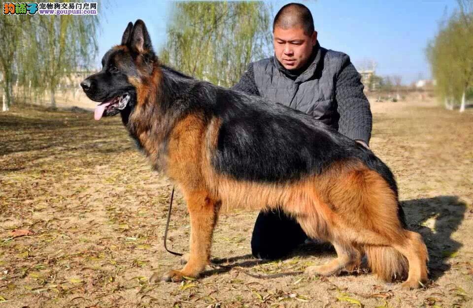 警用级德牧幼犬 纯种德国牧羊犬
