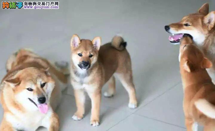 日系柴犬,专业繁殖,疫苗齐全