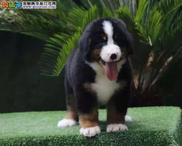 纯血统伯恩山幼犬公母都有可视频选