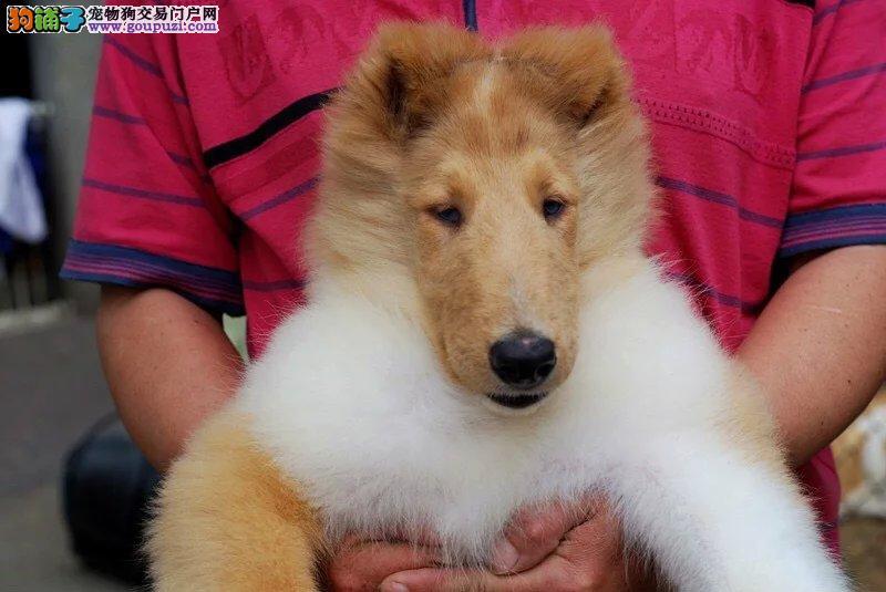 苏格兰牧羊犬常年出售幼犬
