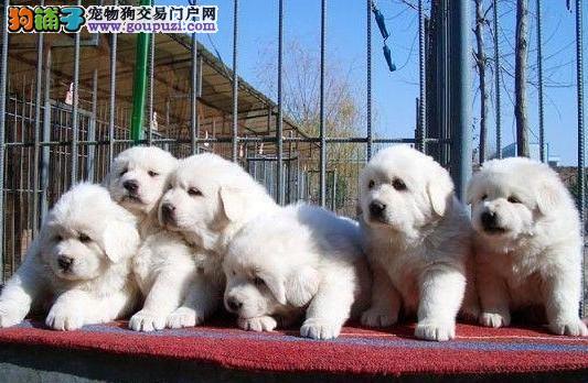 云南哪里有卖大白熊 昆明哪里可以买到纯种大白熊