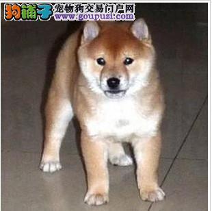抵挡不了的诱惑 高品质日本血统柴犬 不忽悠的品质