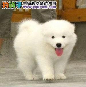 热销纯种澳版萨摩耶幼犬 自己狗场繁殖好品相健康保证