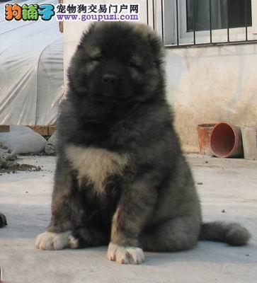 高加索犬幼犬,纯俄系 高大威猛、纯种健康 高加索