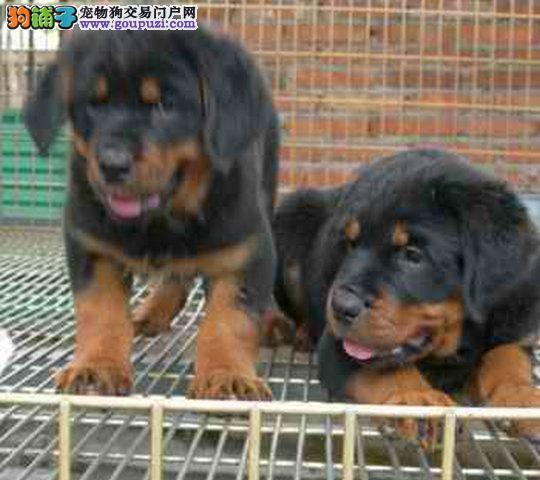 售纯种德系罗威纳幼犬公母都有,品质保证 欢迎选购