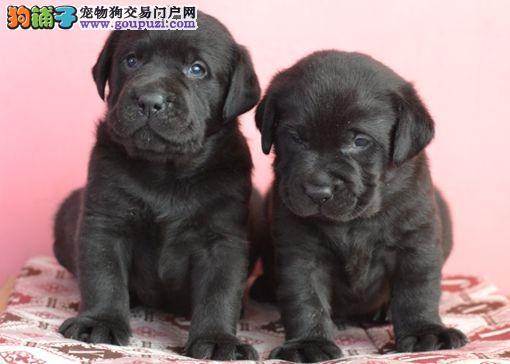 犬舍直销/纯种拉布拉多幼犬/纯种健康 售后终身保障