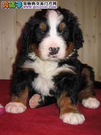 哪里有伯恩山犬出售 纯种伯恩山多少钱一只