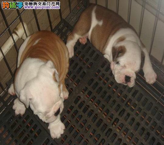 专业繁殖基地出售英国斗牛犬 品相完美 签署质保协议