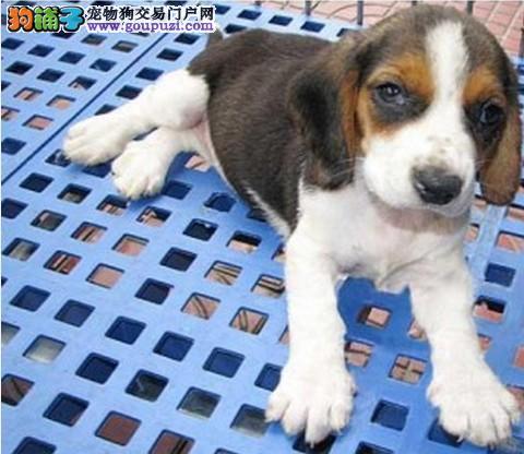专业繁殖纯种比格幼犬 可随时到狗场来挑选 公母都有