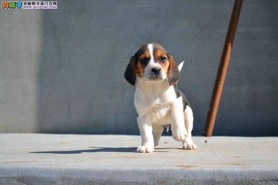 出售赛级比格犬,高端大气精典品质,等您接它回家