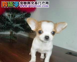 出售超可爱吉娃娃宝宝 吉娃娃幼犬 健康品质保证