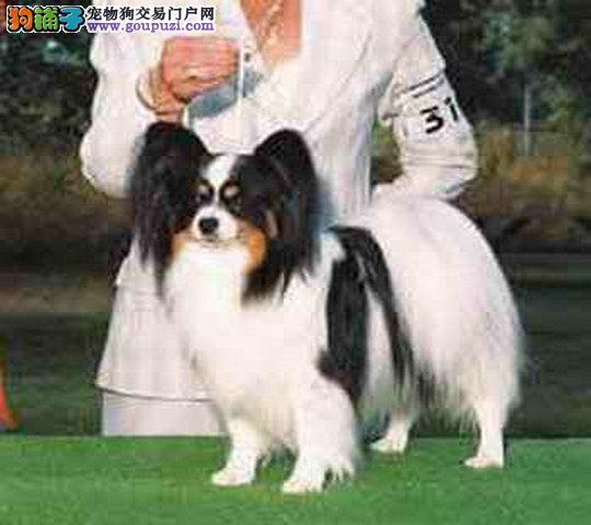 出售漂亮可爱纯种蝴蝶犬,疫苗齐全品相好,包健康