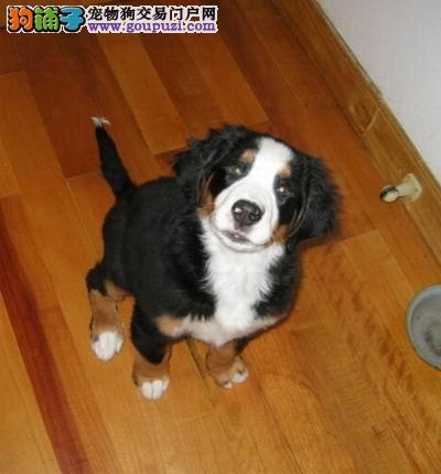 出售纯种健康的伯恩山幼犬期待您的咨询