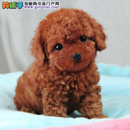 出售纯种泰迪宝宝幼犬 狗狗活泼可爱 包健康 可送货