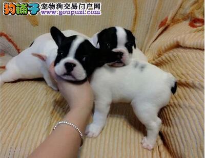 法国斗牛犬幼犬转让 黑白 奶油色憨厚可爱公母均有