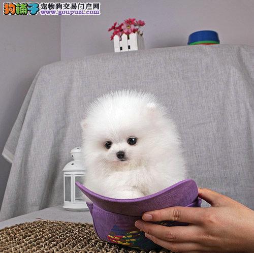 纯种犬繁殖基地长期出售纯种球体哈多利丽博美幼犬。
