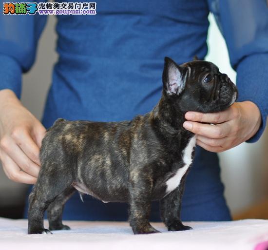 英国斗牛犬幼犬 质量品相都保证 价格合理欢迎选购