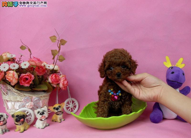 小巧玲珑泰迪熊 茶杯玩具泰迪熊出售血统纯正公母都有