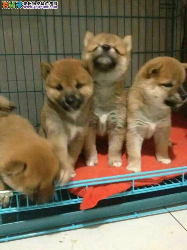 纯日系血统柴犬,种犬全部国外引进幼犬多只可挑选