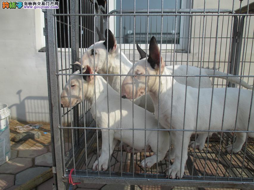 赛级纯种牛头梗犬幼犬出售 标准迷你海盗眼纯白