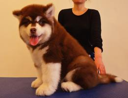 高品质巨型阿拉斯加幼犬待售 红黑灰色均有 保纯保健