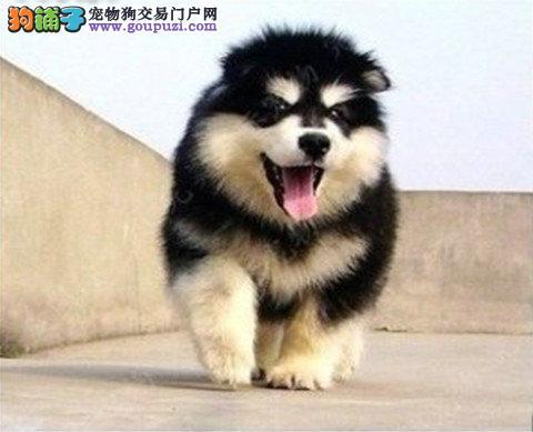 纯种大型犬阿拉斯加狗狗,黑白灰白宠物狗雪橇犬出售