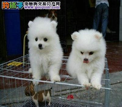 茶杯犬哪里有出售的 纯种茶杯犬多少钱一只