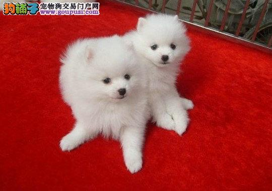 纯正银狐宝宝出售 (2到3个月都有)健康品质保证