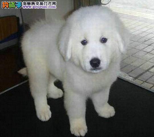 出售骨架高大大白熊宝宝毛色漂亮活泼可爱疫苗齐全