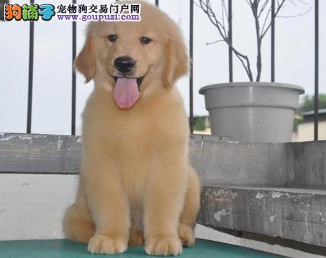 纯种金毛寻回猎犬 骨量大 毛质好 活泼可爱 保证健康