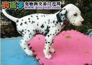 斑点幼犬 保证纯种健康、签订活体协议、可见狗父母