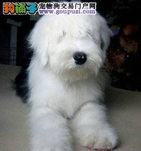 白头通背纯种古代牧羊犬