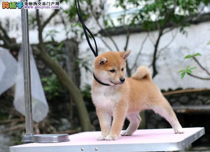 CKU认证犬舍极品日本柴犬活动优惠包纯包活可上门