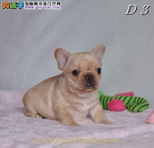 纯种法国斗牛犬幼犬专业繁殖专业饲养
