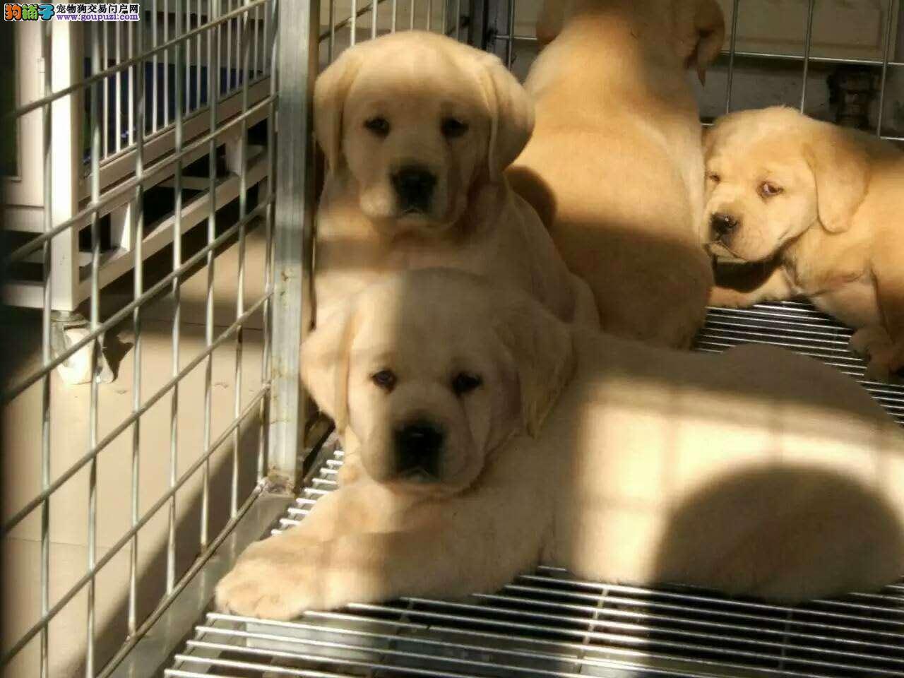 纯种健康拉拉犬   可送货上门   可见狗父母