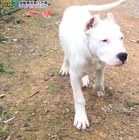 大头版杜高犬价格 贵州杜高犬价格 成年杜高犬价格