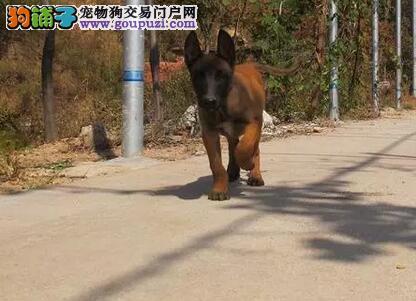 西安正规犬舍高品质马犬带证书保证品质完美售后