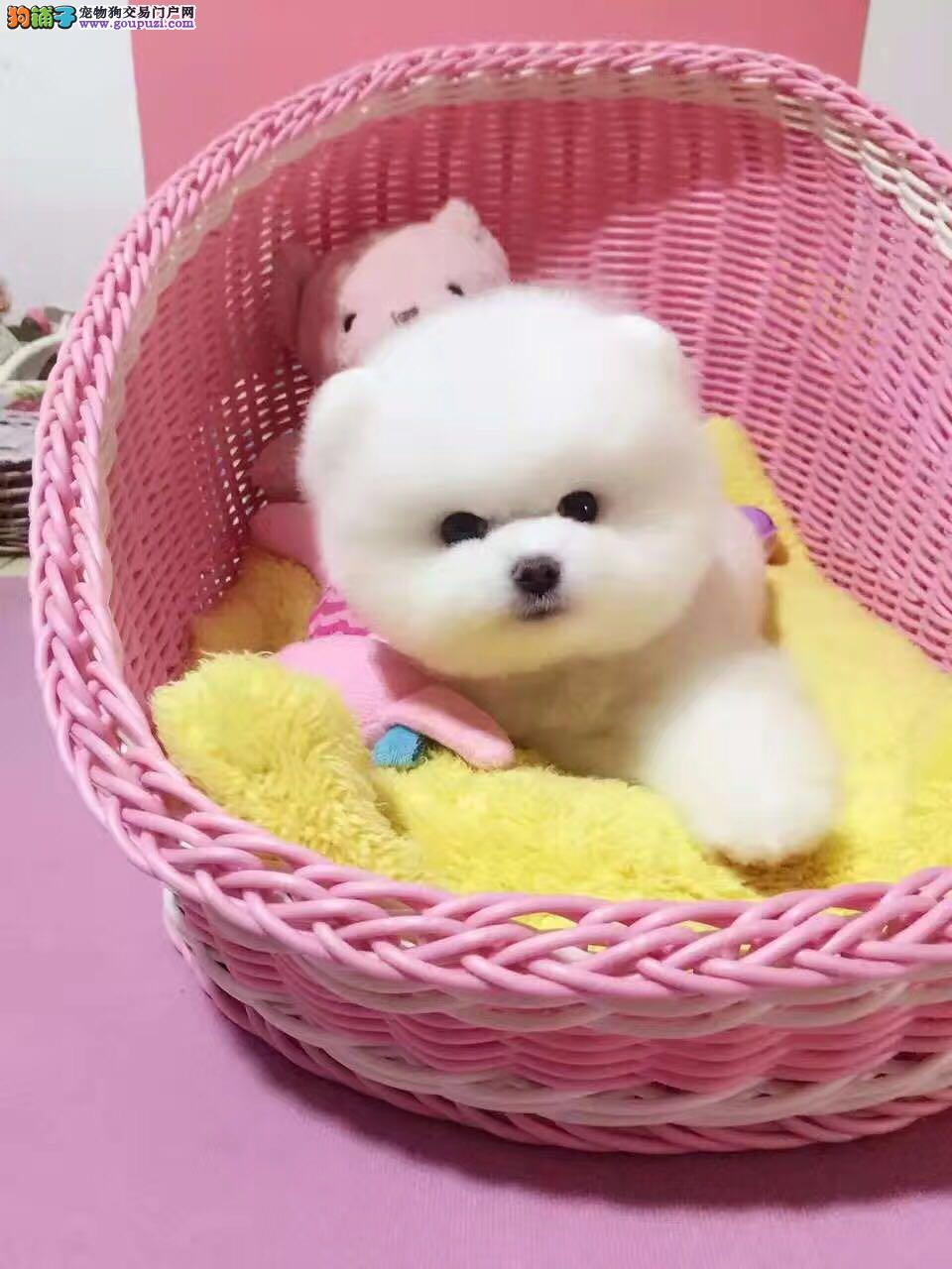韩国引进博美俊介犬、假一罚万、签合同、全部实物拍摄